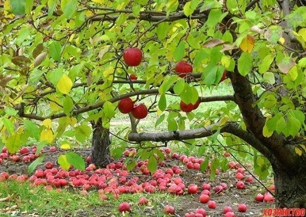 Падают яблоки в мокрую просинь ...
