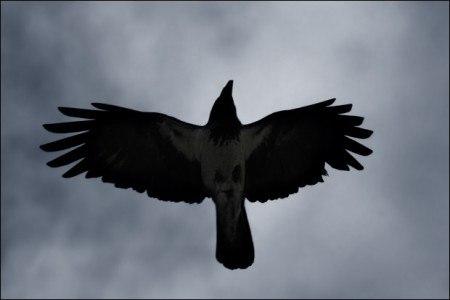 Птица на саване снега черные крылья