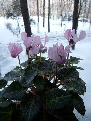 Снежные цветы (авторская песня)