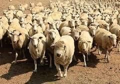 Народ и стадо