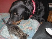 Ротвейлер Лора и бездомный котенок
